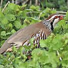 A Game Bird by dilouise