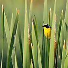 Common Yellowthroat in Cattails by Tom Talbott