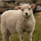 Sheltie lamb by Karen Marr