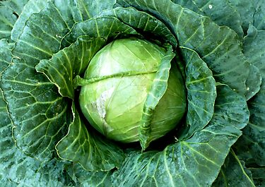 Cabbage by Jess Meacham