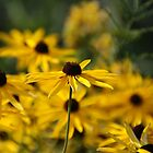 Black Eyed Susan by Renee Ellis