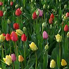 Tulip Field Tulips Meadow Green Beautiful by HQPhotos