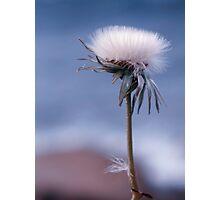 dandelion haze Photographic Print
