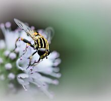 Striped buzz......... IV by Bob Daalder