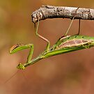 Green Mantis by César Torres
