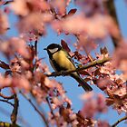 tit in blooming cherry plum tree by Jicha