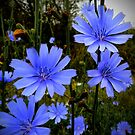 Wild Chicory by Charles & Patricia   Harkins ~ Picture Oregon