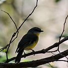Eastern Yellow Robin, Broken River - QLD.  by Margaret Stanton