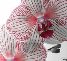 Orchid with pink accent by alan lindsay