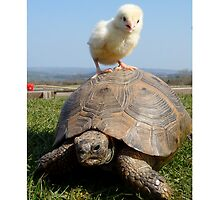 Baby chick and tortoise by Daniel Callaghan