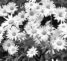 Monochrome Daisies by Charis Thornton