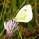 A Cabbage Butterfly  by ienemien