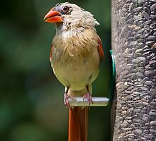 Female Cardinal on Sunflower Feeder by Kenneth Keifer