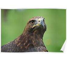 Steppe Eagle  Poster