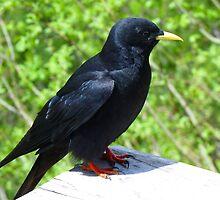 Jackdaw Bird Black Crow by HQPhotos
