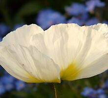 Iceland Poppy Flower White Plant by HQPhotos