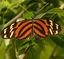 Tiger-passionsfalter Butterfly by HQPhotos