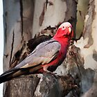 Galah Cockatoo at Kalbarri by Yukondick