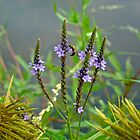 Blue Vervain - Verbena hastata by MotherNature
