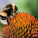 Bumble Bee on an Echinacea Flower by John Hooton