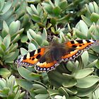 Tortoise Shell Butterfly by TedT