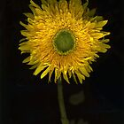 Teddy Bear Sunflower by Barbara Wyeth