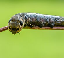 Defence strategy of the the elephant hawk moth caterpillar by Andrew Jones