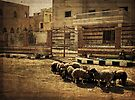 Sheep Grazing in Giza, Egypt by Lucinda Walter