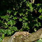 Sleepy Squirrel   by Dominic  Boulding