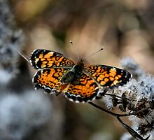 Pearl Crescent by Kevin McLeod