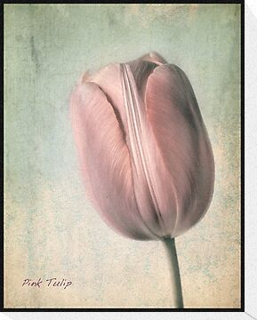 Pink Tulip by polly470