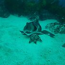 PORT JACSON SHARK ABOUT TO EAT STAR FISH by springs