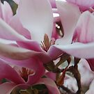 Magnolia flower   by lettie1957