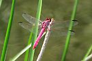 Dragonfly ~ Roseate Skimmer (Male) by Kimberly Chadwick