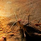 Raspy Cricket, Chauliogryllacris species by David Toolan