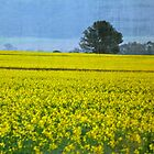 CANOLA FIELDS by jainiemac
