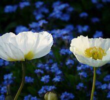 Iceland Poppy Flower White Plant by justforyou
