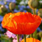 Poppy Klatschmohn Medicinal Plant Flower Red by justforyou