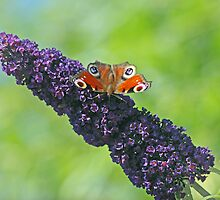 Peacock Butterfly on Budleia by OpalFire