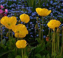 Iceland Poppy Flower Yellow Plant by justforyou