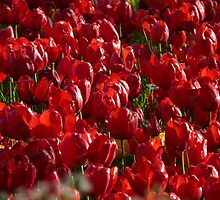 Tulip Field Tulips Red Strong Farbenpracht by justforyou