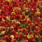 Tulip Field Back Light Light Seem by justforyou