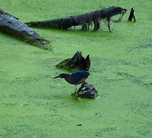 Green Heron Hunting Through Duck Grass by Scott Hendricks