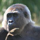 Gorilla by Judd3rman