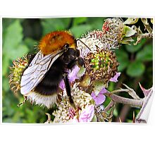 Miss Bee On Her Blackberry Poster