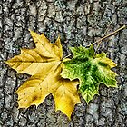 Two maple leaves by Cebas