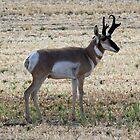 Antelope  by Gina J
