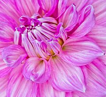 Dahlia Swoon by Marilyn Cornwell