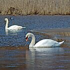 Mute Swans on a Cape Cod Pond - Cygnus olor - Quissett  Massachusetts by MotherNature