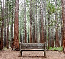 Redwood Forest by PatSchlaich